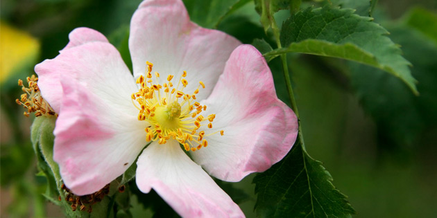 Floral de Bach - Wild Rose Big/Farmácia teravida
