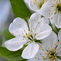 Cherry Plum: COMPOSTURA (Tem medo de perder o controle)